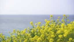 제주도 유채밭 유채꽃과 바다 풍경