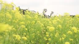 제주도 유채밭 유채꽃 풍경