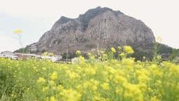 제주도 서귀포시 산방산과 유채밭 유채꽃 풍경